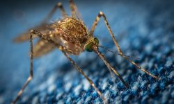 closeup of mosquito